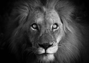 Eñ Rey león